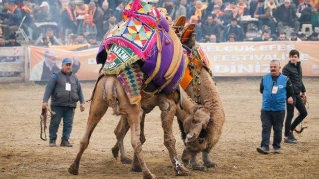 Camel-Wrestling-Turkey